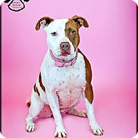 Pit Bull Terrier Mix Dog for adoption in Tempe, Arizona - Pickles