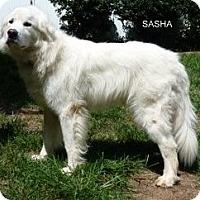 Adopt A Pet :: Sasha - Indian Trail, NC