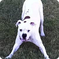 Adopt A Pet :: Ross - Brentwood, TN