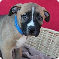 Adopt A Pet :: Zuki - Waldorf, MD
