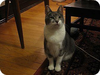 Domestic Shorthair Cat for adoption in Chicago, Illinois - Josephine Baker