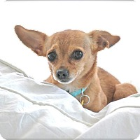 Adopt A Pet :: Piccolo - Allentown, PA
