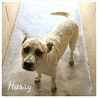 Adopt A Pet :: Harry - Mandeville, LA