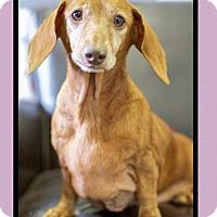 Adopt A Pet :: Noodle (pom-dc) - Spring Valley, NY