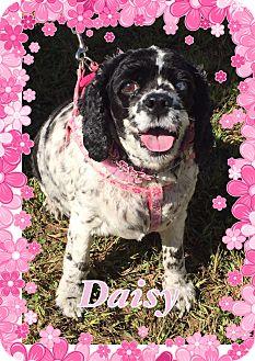 Cocker Spaniel Dog for adoption in Greensboro, Maryland - Daisy