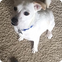 Adopt A Pet :: Sugar - Irving, TX
