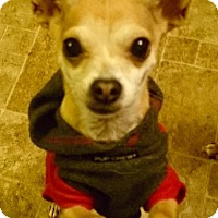 Chihuahua Dog for adoption in C/S & Denver Metro, Colorado - Mark 8 Years