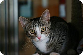 Domestic Shorthair Kitten for adoption in Toms River, New Jersey - Skyler