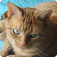 Adopt A Pet :: Marmalade - Toronto, ON