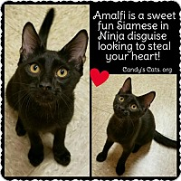 Adopt A Pet :: Amalfi  (2.25.16) (SF) - Orlando, FL