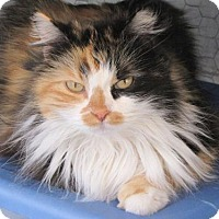 Calico Cat for adoption in Fullerton, California - Lady Hildagard