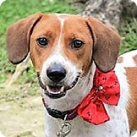 Beagle Mix Dog for adoption in San Francisco, California - Glendy