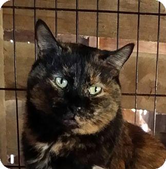 Domestic Shorthair Cat for adoption in Brighton, Missouri - Autumn