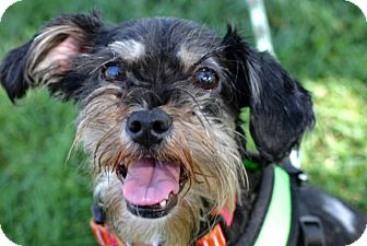 Schnauzer (Miniature) Mix Dog for adoption in Monrovia, California - Duke of Earl