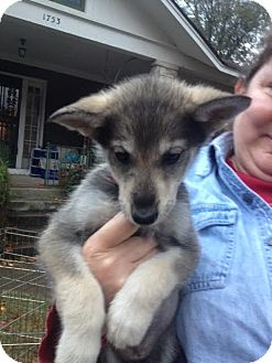 Shepherd (Unknown Type) Mix Puppy for adoption in Memphis, Tennessee - Fran