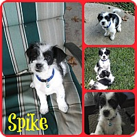 Adopt A Pet :: Spike - Ft Worth, TX