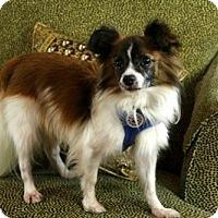 Papillon Dog for adoption in Dallas, Texas - Malone Papillon