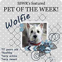 Westie, West Highland White Terrier/Poodle (Miniature) Mix Dog for adoption in Ponte Vedra Beach, Florida - Wolfie