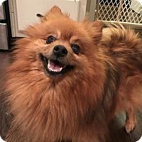Adopt A Pet :: Abu - Alpharetta, GA