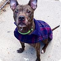 Adopt A Pet :: Porcha - Long Beach, NY