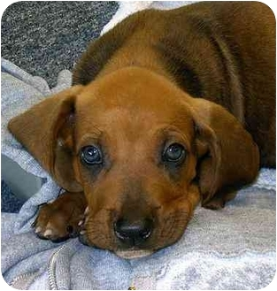 Treeing Walker Coonhound Redbone Coonhound Mix Puppy for adoption in    Redbone Coonhound Treeing