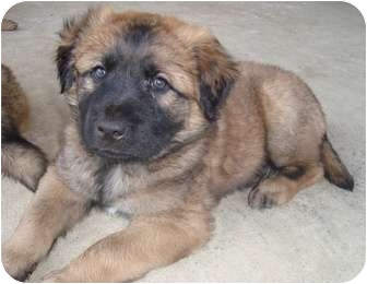 Anakin | Adopted Puppy | Carrollton, TX | Leonberger Mix
