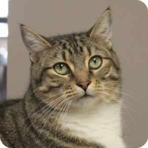 Domestic Shorthair Cat for adoption in Naperville, Illinois - Uno