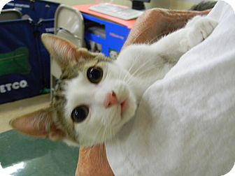 Domestic Shorthair Kitten for adoption in Naples, Florida - Franky