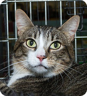 Domestic Shorthair Cat for adoption in Sacramento, California - Lia N