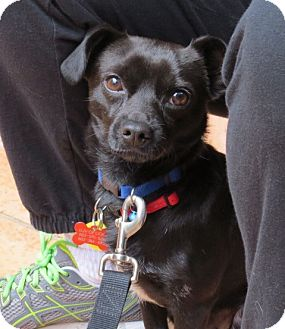 Miniature Pinscher/Chihuahua Mix Dog for adoption in Scottsdale, Arizona - Harley