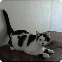 Domestic Shorthair Cat for adoption in Chattanooga, Tennessee - Joseph