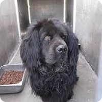Chow Chow/Cocker Spaniel Mix Dog for adoption in Marina del Rey, California - Chowski