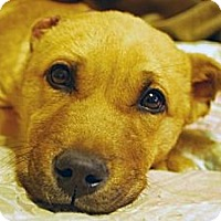 Adopt A Pet :: Lefty Buritto - Whitewright, TX