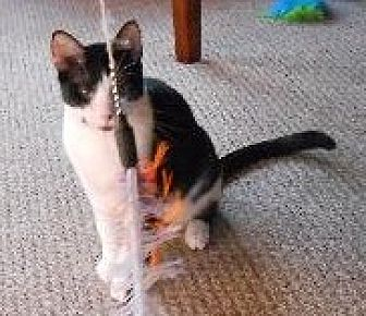 Domestic Shorthair Cat for adoption in Royal Palm Beach, Florida - Tommy
