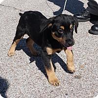 Adopt A Pet :: Mocha II - Charlemont, MA