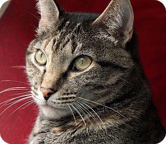 Domestic Shorthair Cat for adoption in St. Louis, Missouri - Etta James