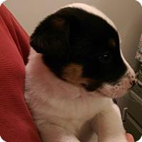 Adopt A Pet :: Phantom - Ogden, UT