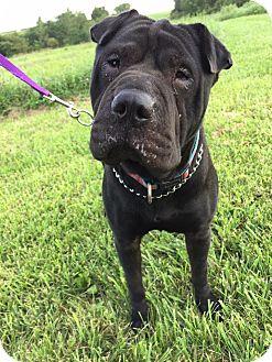 Shar Pei Mix Dog for adoption in Maryville, Missouri - Nala