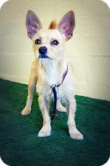 Podengo Portugueso Mix Dog for adoption in Casa Grande, Arizona - Zepon