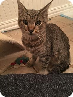 Domestic Shorthair Kitten for adoption in Bulverde, Texas - Dinah