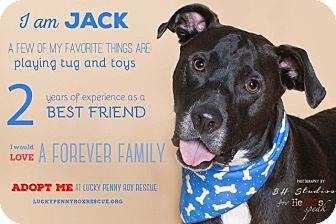 Labrador Retriever Mix Dog for adoption in Seattle, Washington - A -Jack Jack