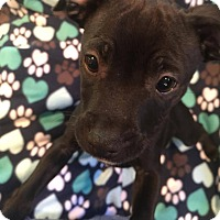 Terrier (Unknown Type, Medium)/Chihuahua Mix Puppy for adoption in South San Francisco, California - Peter