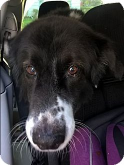 Border Collie Dog for adoption in Minerva, Ohio - Big Dog