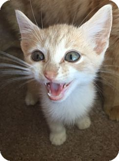 Domestic Shorthair Kitten for adoption in Dallas, Texas - QUINN