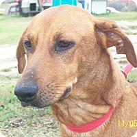Dachshund/Black Mouth Cur Mix Dog for adoption in Mexia, Texas - Lexi