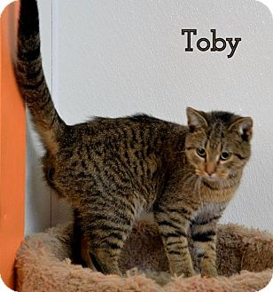 Domestic Shorthair Cat for adoption in DuQuoin, Illinois - Toby James