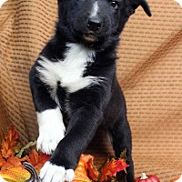Adopt A Pet :: OMAR - Westminster, CO