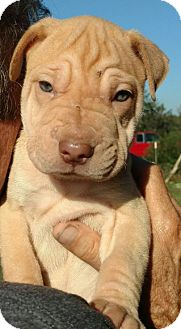 Shar Pei Mix Dog for adoption in Von Ormy, Texas - Donatella