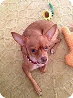 Chihuahua Mix Dog for adoption in St Louis, Missouri - Cricket