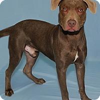 Adopt A Pet :: Apollo - Gatineau, QC